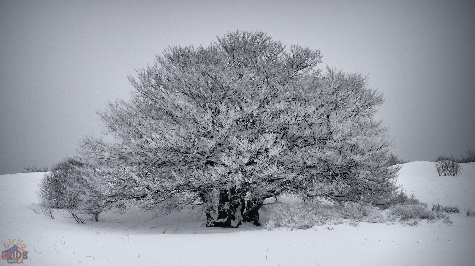 Giulio gmdb alberi solitari for Alberi simili alle querce
